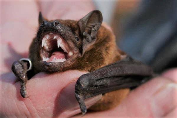 Neues Coronavirus in Fledermäusen entdeckt- Besteht Grund zur Sorge